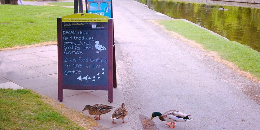 healthy ducks at Trevor Basin