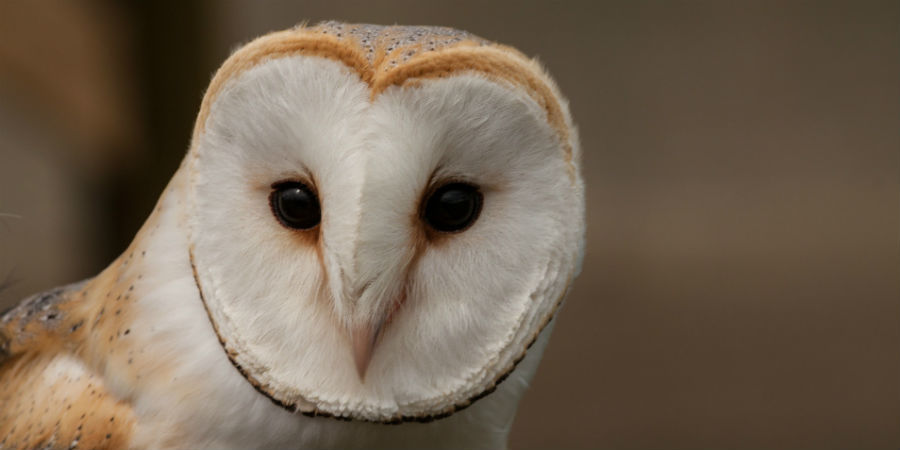 Barn Owl Waterway Wildlife Canal River Trust