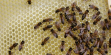 Queen bee (the one with the red dot) on a honeycomb