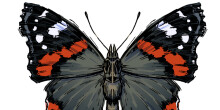 Red Admiral butterfly illustration