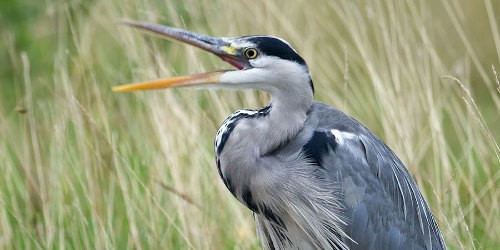 Heron stood with mouth open