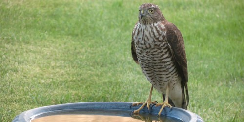 Sparrowhawk courtesy of Tony Slater