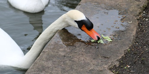 Swan eating iceberg lettuce