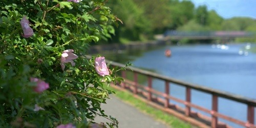 Pink rose on the River Soar in Leicester