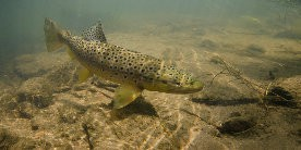 Brown Trout, courtesy of Jack Perks