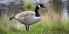 One standing adult canada goose