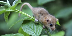 Dormouse on plant