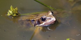 Frog with head out of water