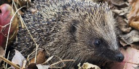 Hedgehog sat in fallen leaves