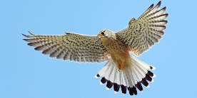 Kestrel in sky with wings open