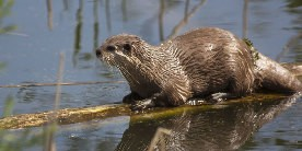 Otter sat on log in water among reeds