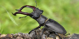 Stag beetle on log reared up