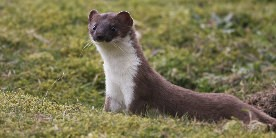 Stoat standing in grass