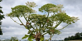 Close up of head of giant hogweed