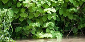 Close up of Japanese knotweed growing out of water