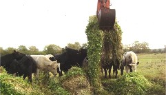 Cows eating floating pennywort in field