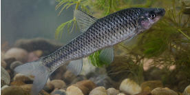 Topmouth gudgeon (photo by Jack Perks)
