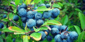 Sloes by the canal