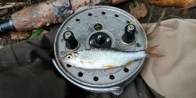 Roach on reel: Roach of all sizes are things of beauty