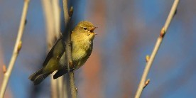 Chiff Chaff courtesy of Jacob Spinks on Flickr