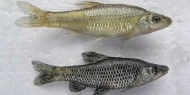 Male and female topmouth gudeon