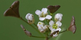 Shepherds purse courtesy of Miltos Gikas on flickr