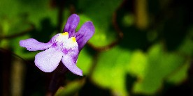 Ivy leaved toadflax courtesy of Bobby McKay on flickr