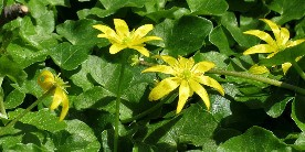 Lesser celandine courtesy of Katja Schilz on flickr