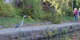 Heron on the Sheffield & Tinsley Canal