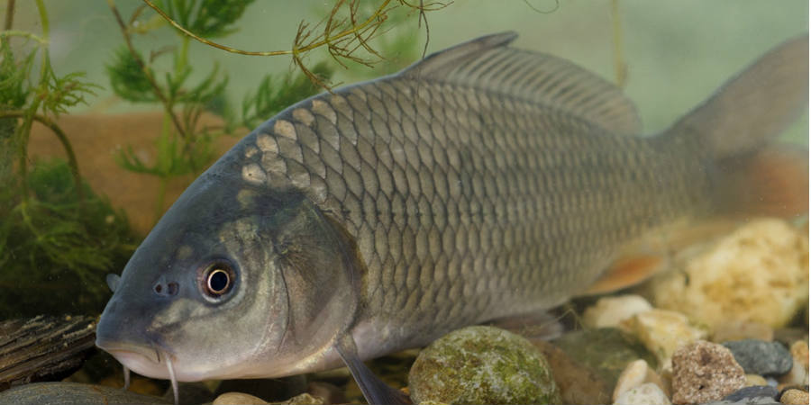 Carp fish common species of fish canal river trust for Show me pictures of fish