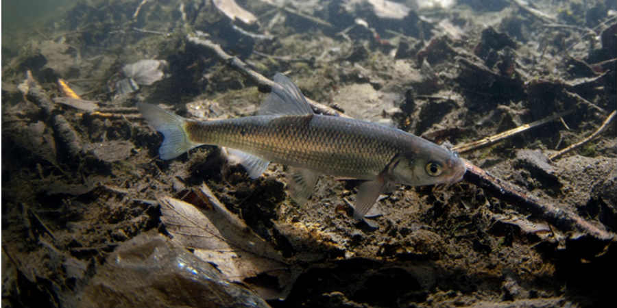 dace species of fish canal river trust
