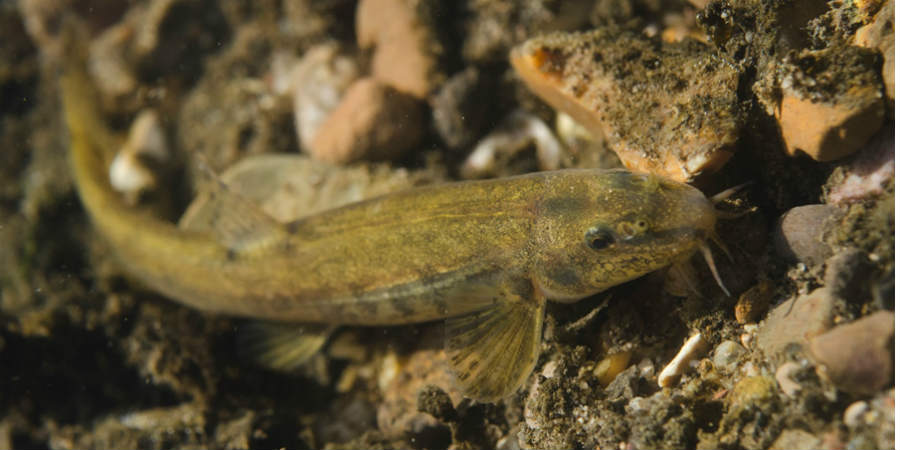 Stone Loach, courtesy of Jack Perks