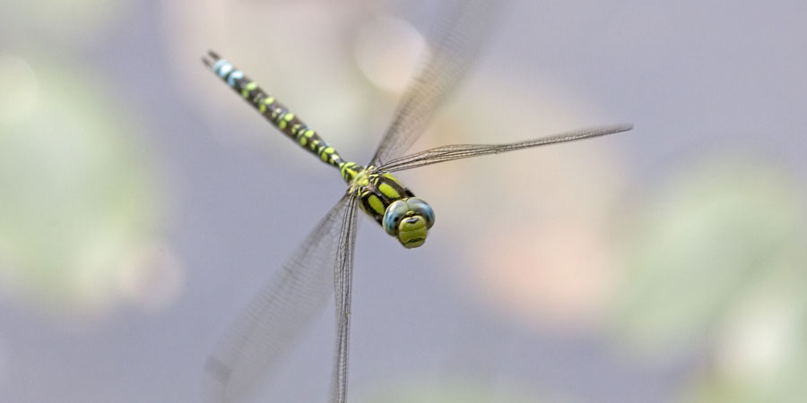 Dragonfly in the air