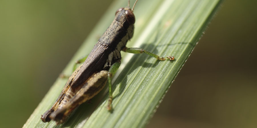 Grasshopper sat on broad leaf