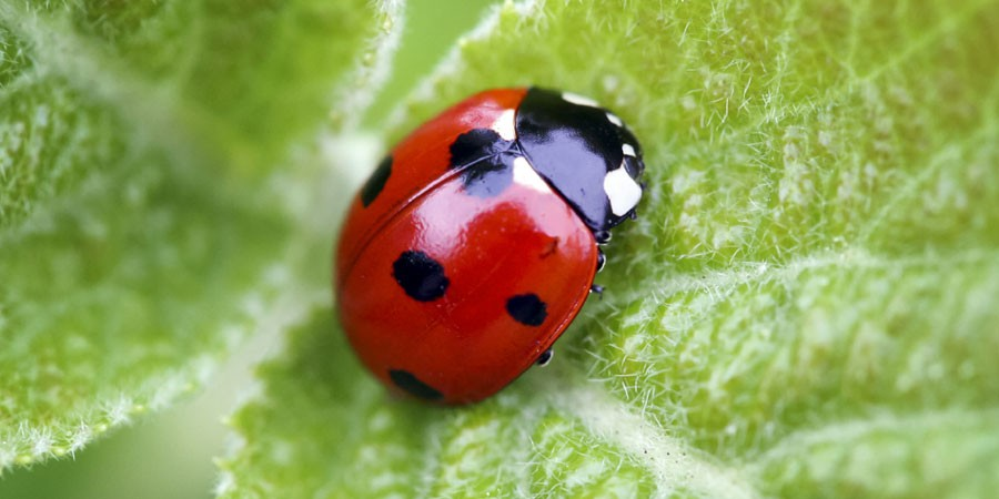 Ladybird sat on leaf