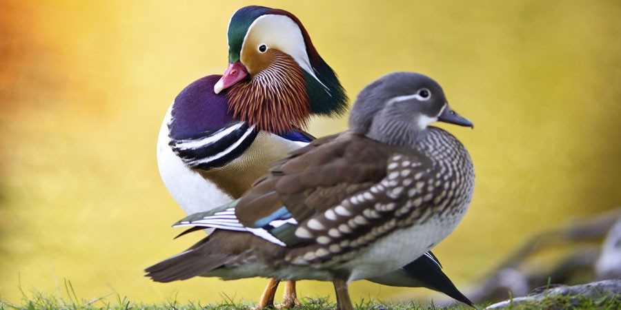 Two mandarin ducks stood on grass