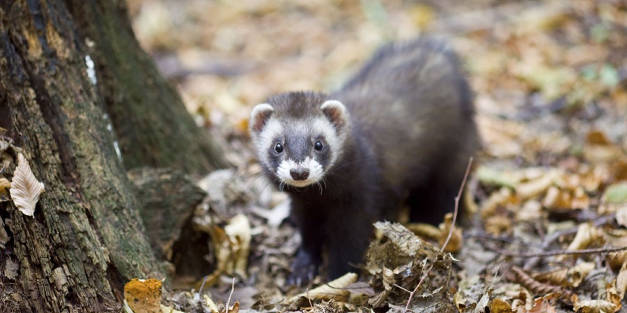 Polecat at base of tree among fallen leaves