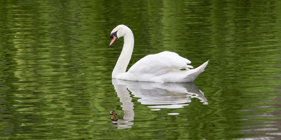 swan waterway wildlife canal river trust