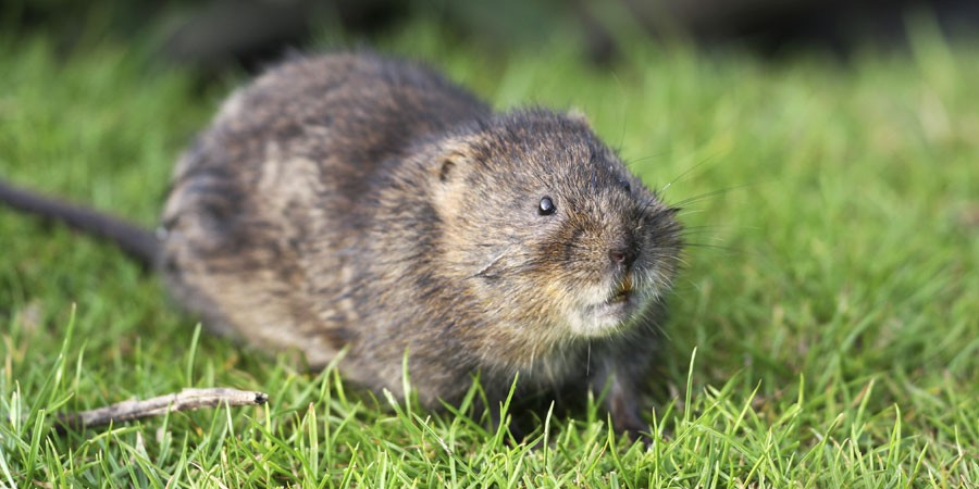 Water vole sat on grass
