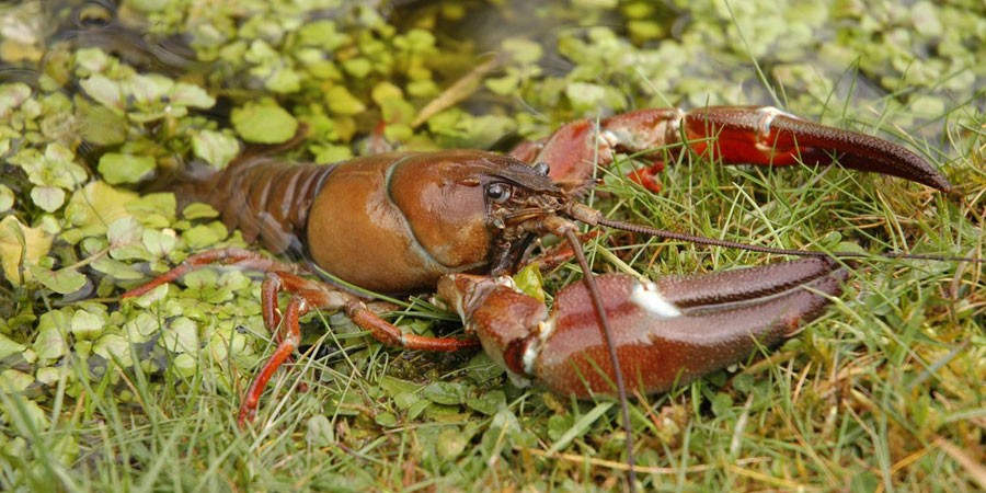 American Signal Crayfish coming out of water onto grass