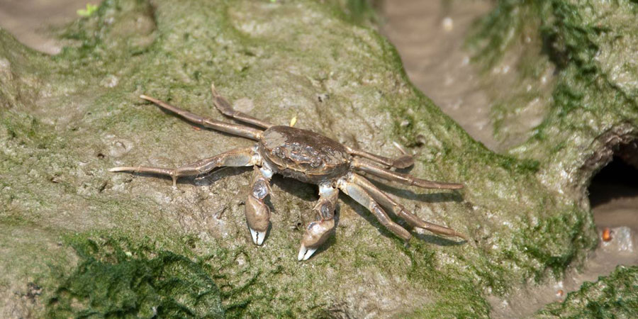 Chinese Mitten Crab sat on rock