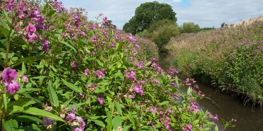 Himalayan Balsam with purple flowers on both banks of narrow waterway