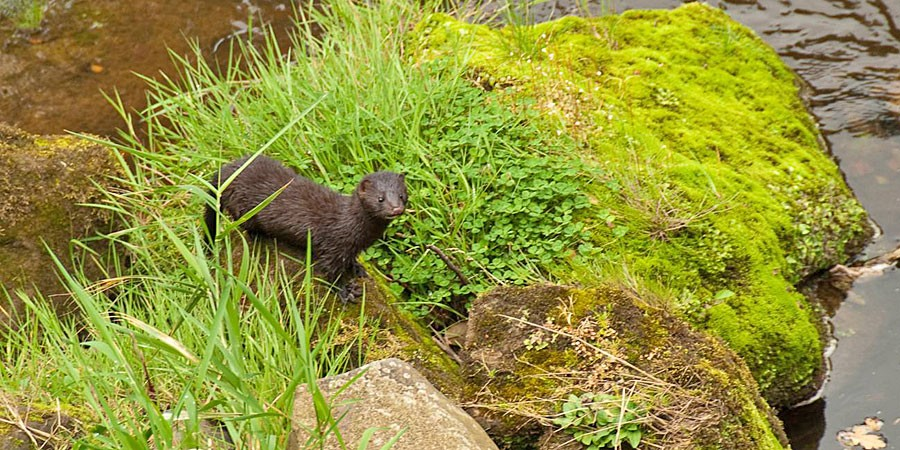 Mink on rocks surrounded by grass
