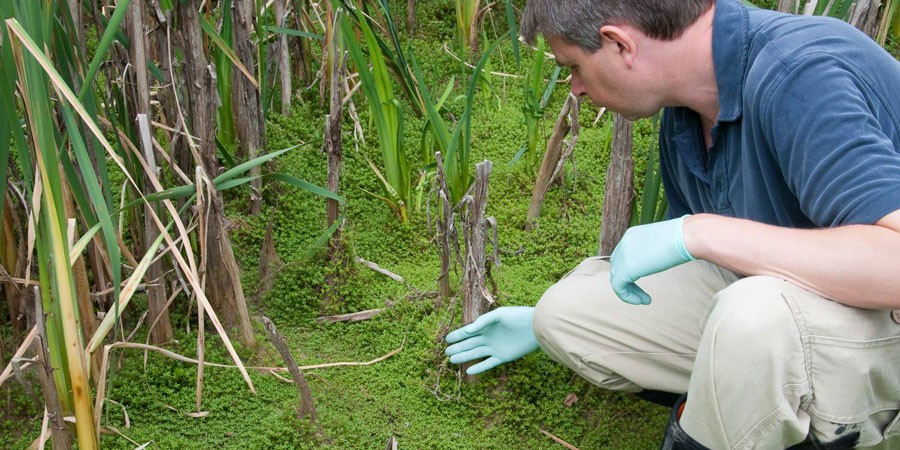 Scientist pointing at New Zealand pigmyweed on water