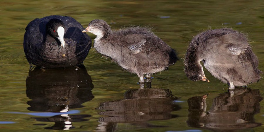 Adult coot with two chicks