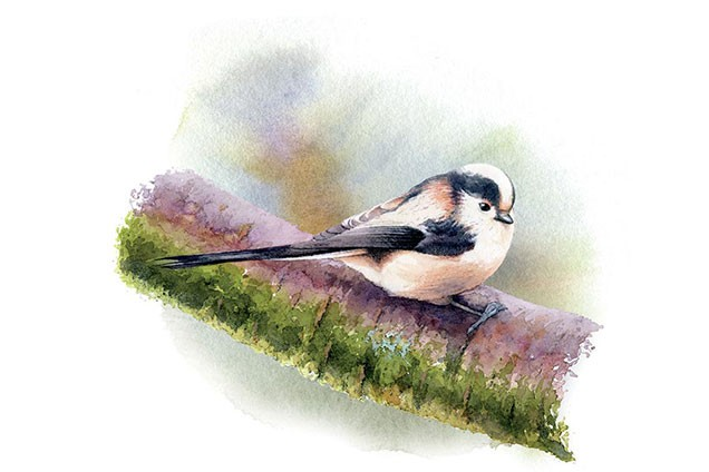 Watercolour of Long Tailed Tits