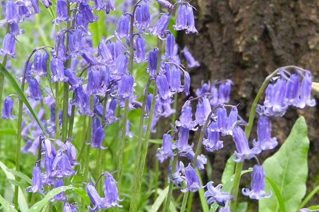 Close up of bluebells in Hirst Wood