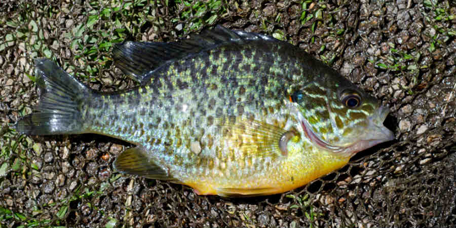 Pumpkinseed, courtesy of Jack Perks