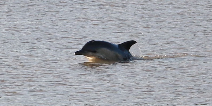 A dolphin in Sharpness Port