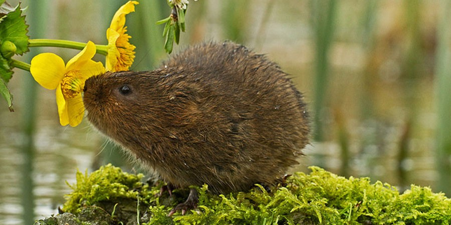 A water vole sniffing a flower